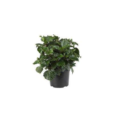 3 Qt. Orange Hibiscus Tropical Live Outdoor Plant in Grower Pot