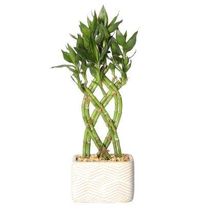 lucky bamboo weave braid in 55 in galileo white square ceramic - White Flowering House Plants