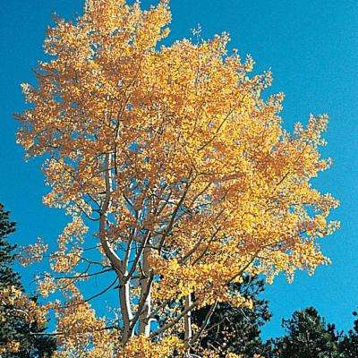 Green Foliage Quaking Aspen (Populus) Tree Live Bareroot Shade Tree (1-Pack)
