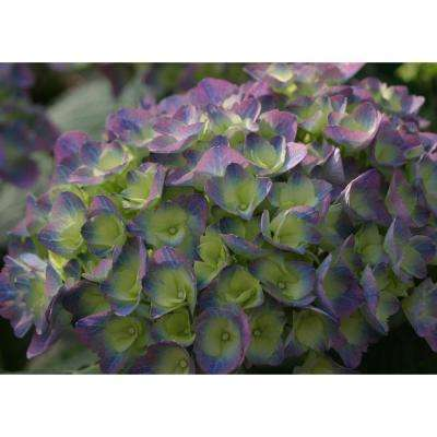 4.5 in. qt. Cityline Rio Bigleaf Hydrangea (Macrophylla) Live Shrub, Blue, Pink and Purple Flowers