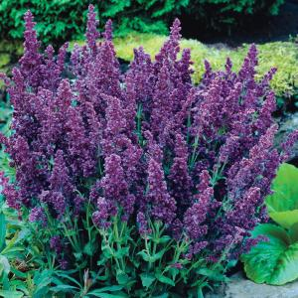 Spring Hill Nurseries Plumosa Double Salvia Live Bareroot