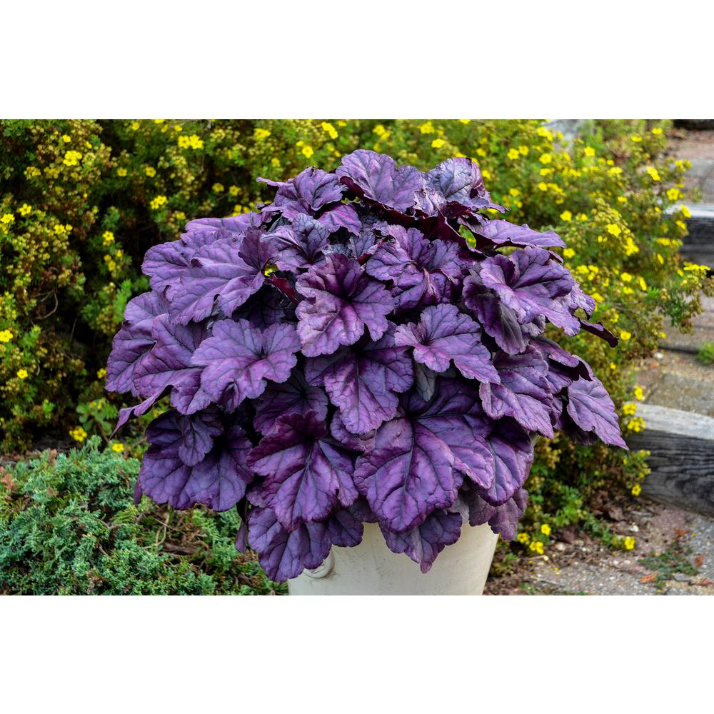 Proven Winners 0.65 Gal. Dolce Wildberry Coral Bells (Heuchera) Live Plant, White Flowers and Purple Foliage