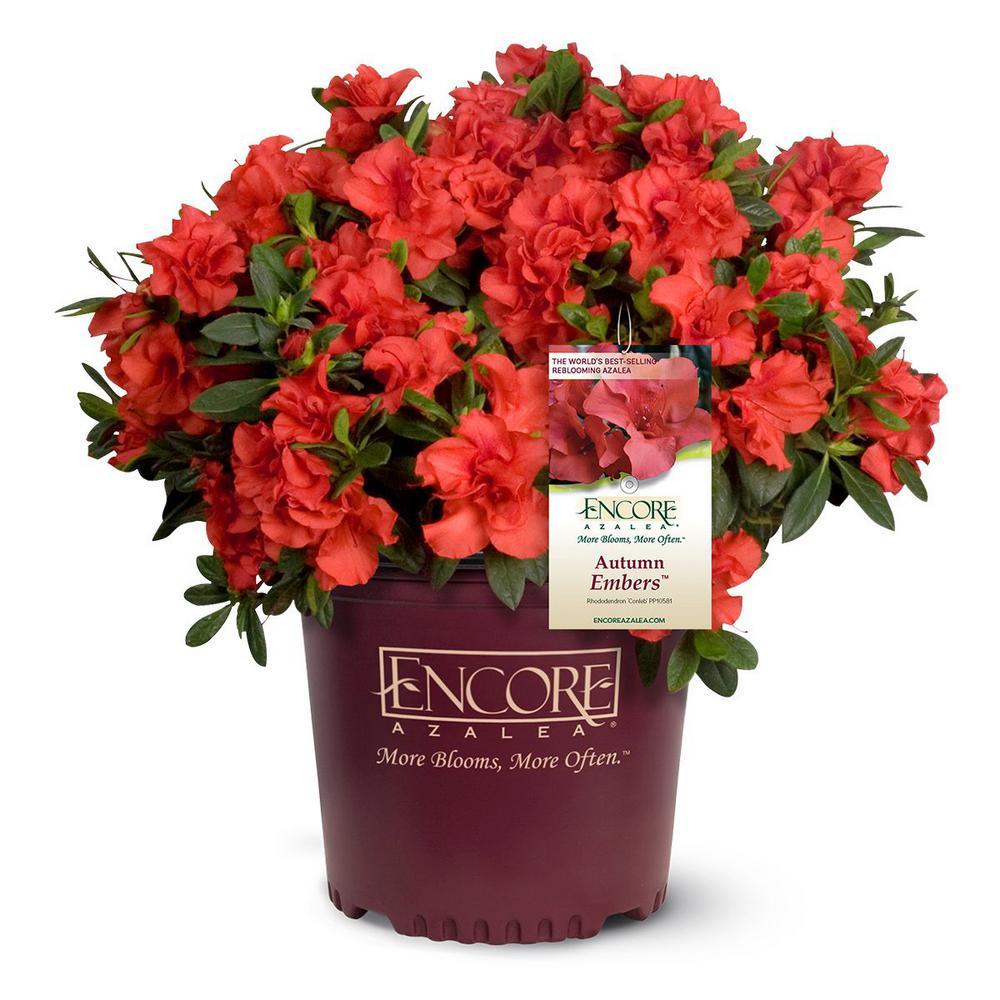 1 gal. Autumn Embers Encore Azalea Shrub with Red Flowers