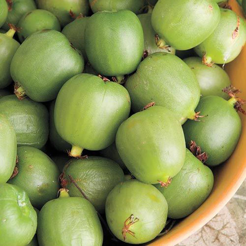 4 in. Pot, Hardy Kiwi Female (Actinidia), Live Deciduous Plant, Fruiting Kiwi Vine (1-Pack)