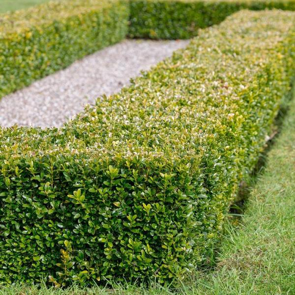 2.5 Qt. Japanese Boxwood (Buxus) Shrub, Live Evergreen Hedge Plant with Green Deer-Resistant Foliage