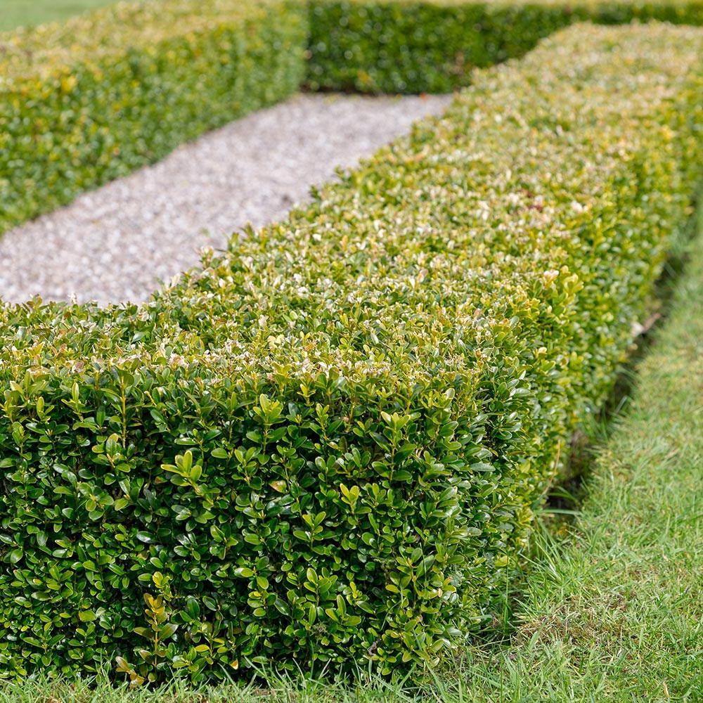 2 5 Qt Japanese Boxwood Buxus Shrub Live Evergreen Hedge Plant