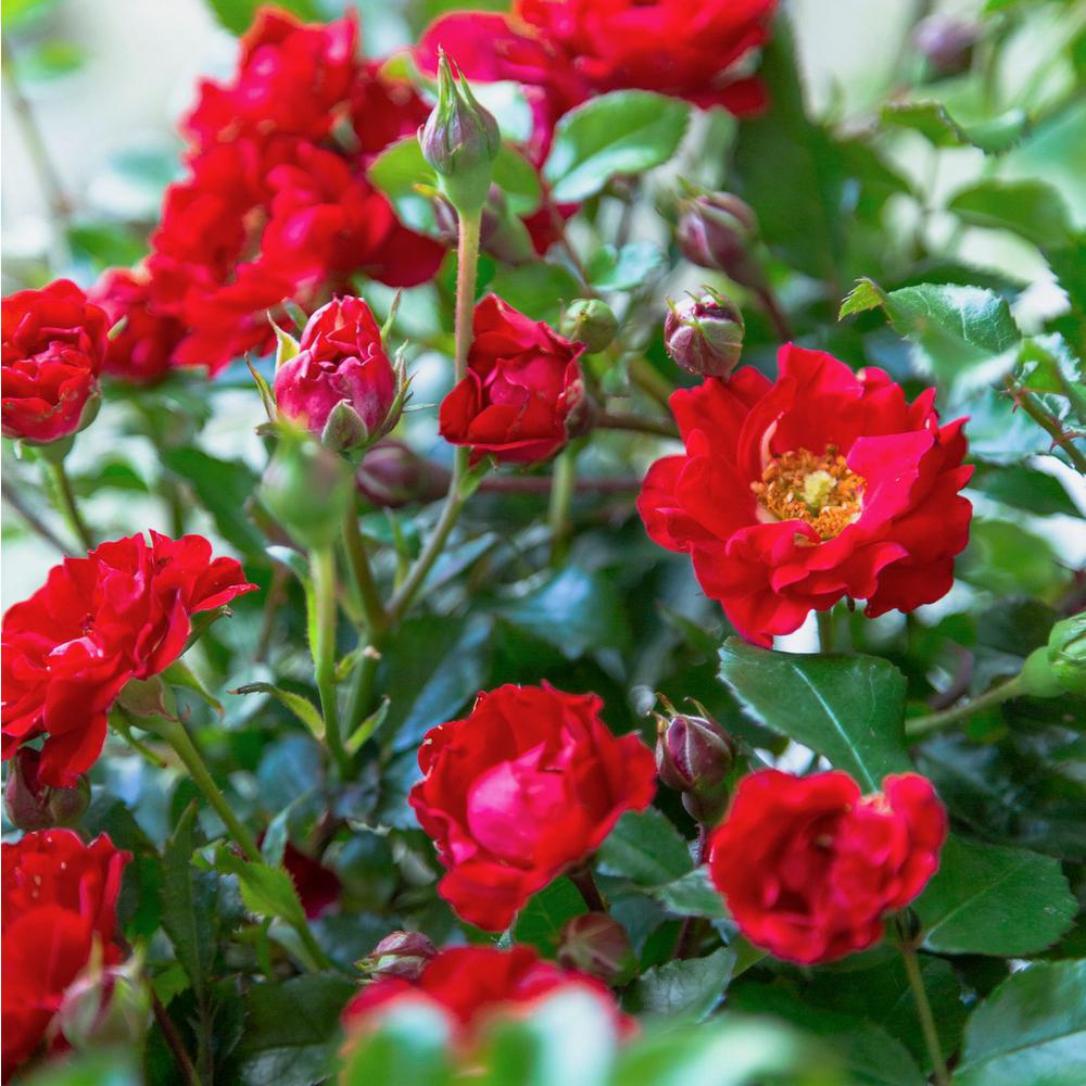 Southern Living Plant Collection 2 Gal. It's A Breeze Groundcover Rose Plant with Dark Red Double Blooms