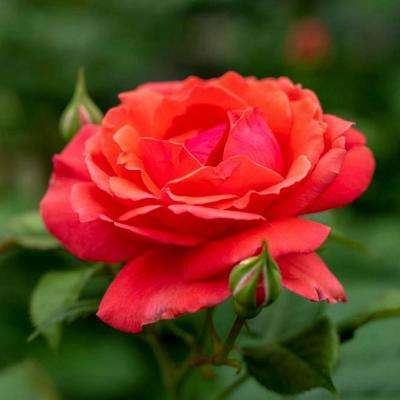 4 in. Pot, Coral Freedom Shrub Rose, Coral Pink Color Flowers Live Potted Plant (1-Pack)