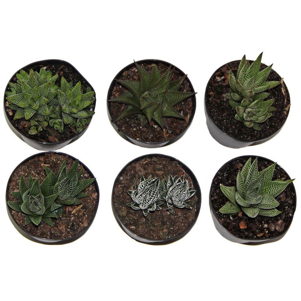 Haworthia Succulent Assortment in 4 in. Grower Pot (3 pack)
