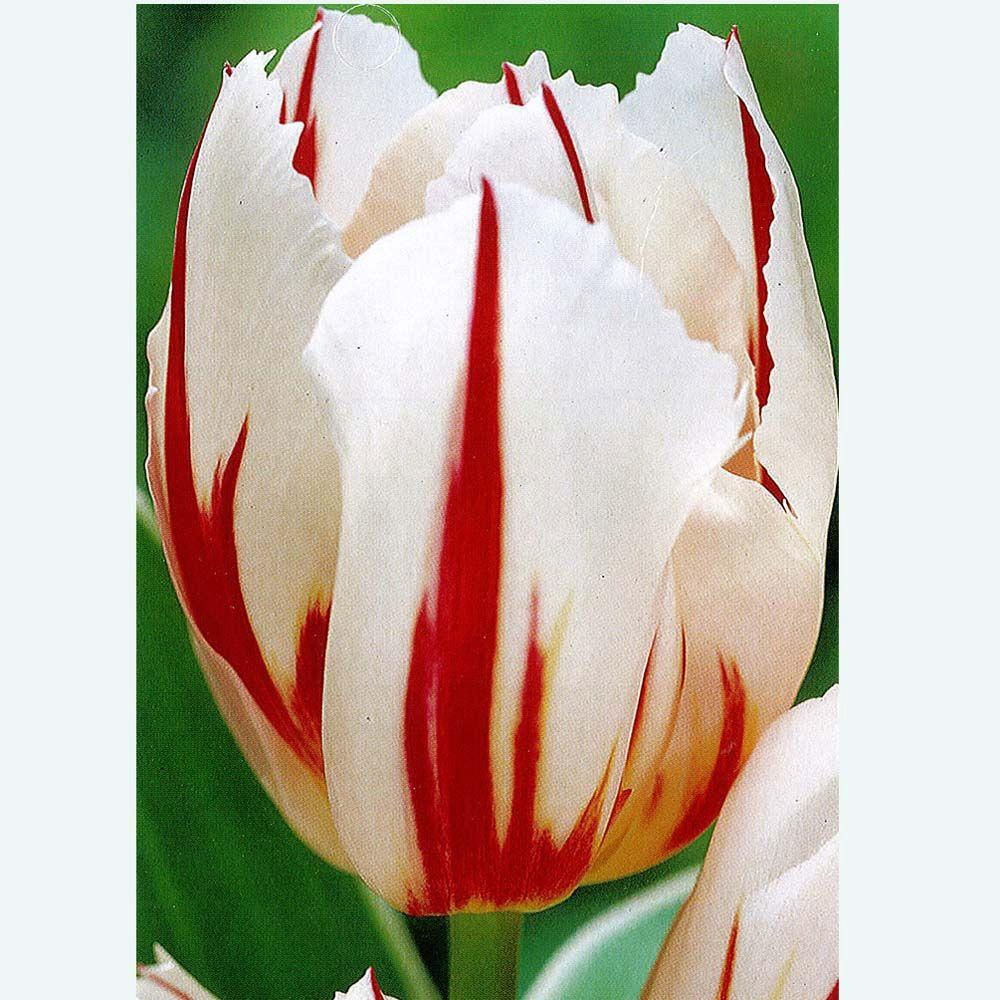null Tulip Happy Generation Dormant Bulbs (20-Pack)