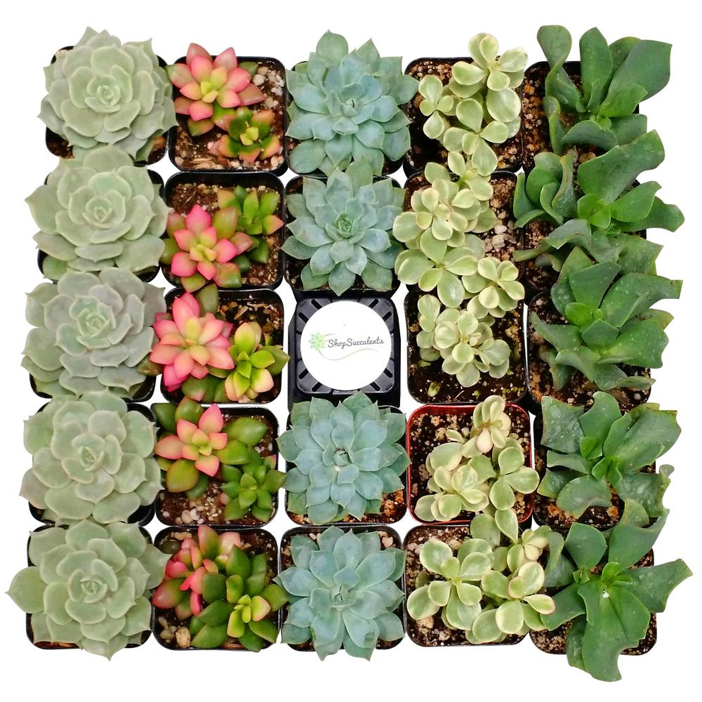 Shop Succulents 2 in. Assorted Succulent (Collection of 140)