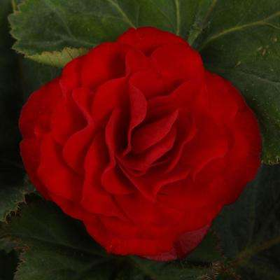 Nonstop Red (Tuberous Begonia) Live Plant, Red Flowers, 4.25 in. Grande