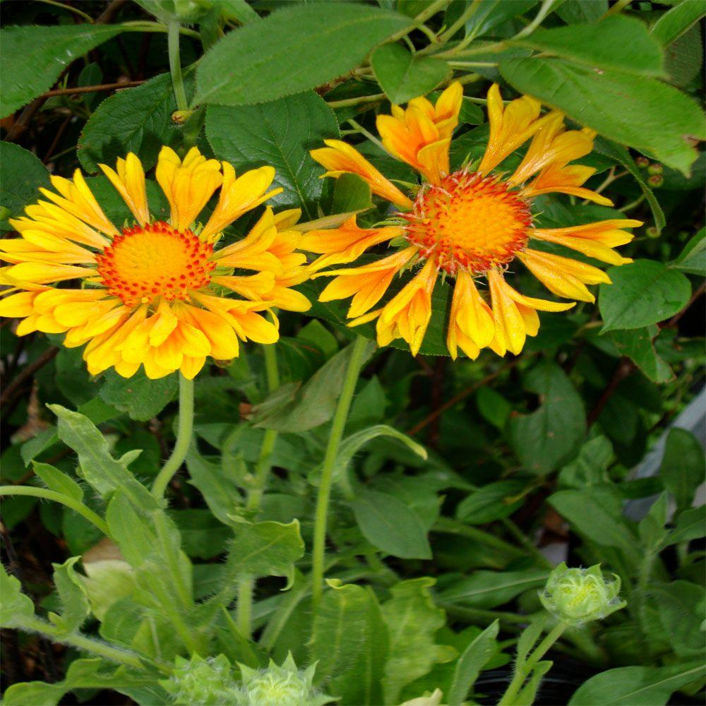 OnlinePlantCenter 1 gal. Oranges And Lemons Blanket Flower Plant
