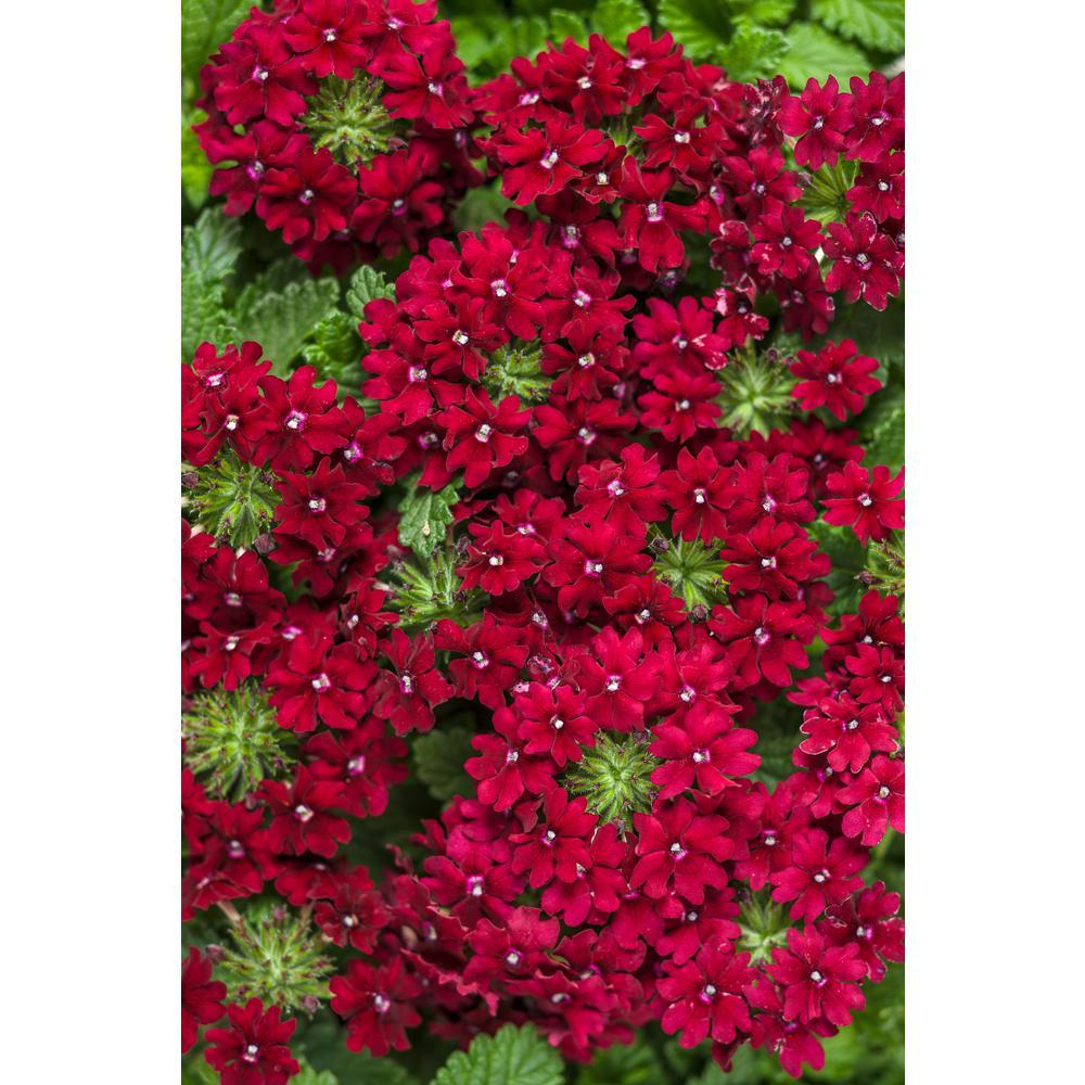 Verbena Annuals Garden Plants Flowers The Home Depot