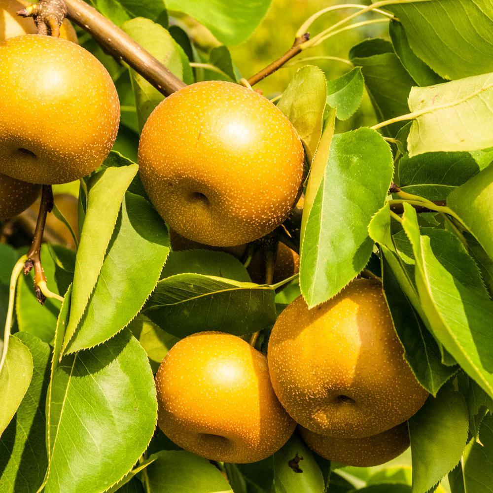 Drippin' Honey Standard Pear Pyrus Live Fruiting Bareroot Tree (1-Pack)