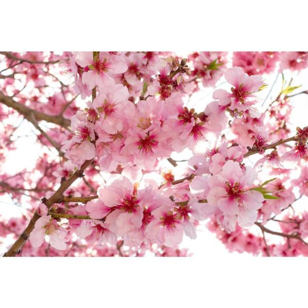 Photographic Apple Blossom Landscapes Wall Mural