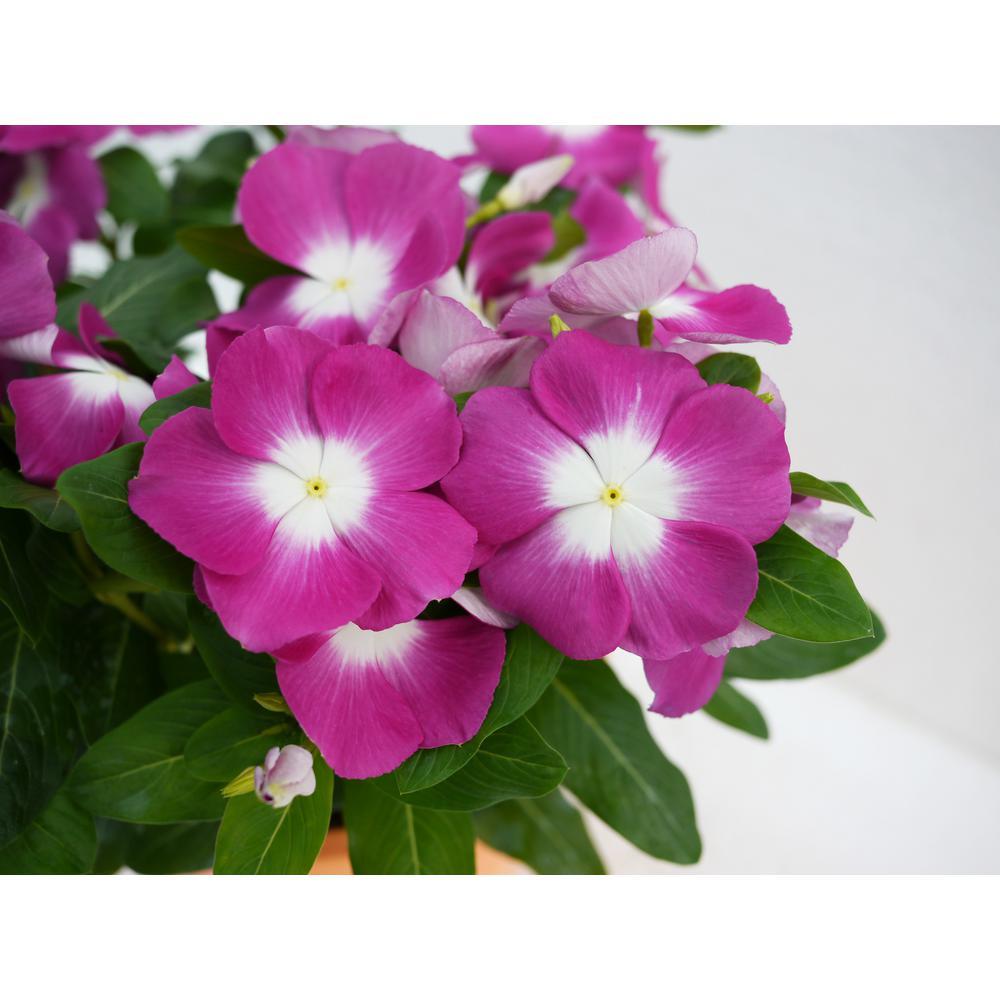 Vinca Cora Periwinkle Plant Orchid Purple Flowers in 4.5 in. Grower's Pot (4-Plants)