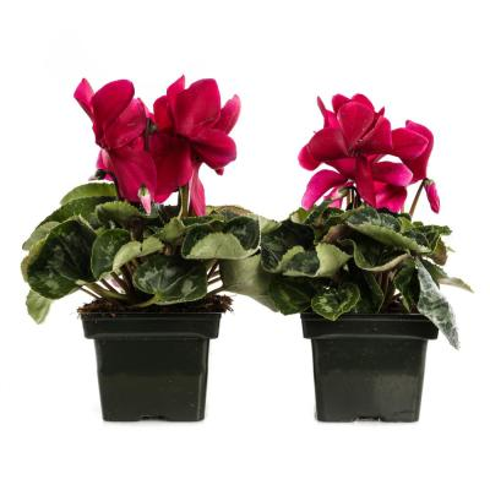 1.21-Pint Dark Pink Cyclamen Latinia in 4 in. Pot (2-Pack)