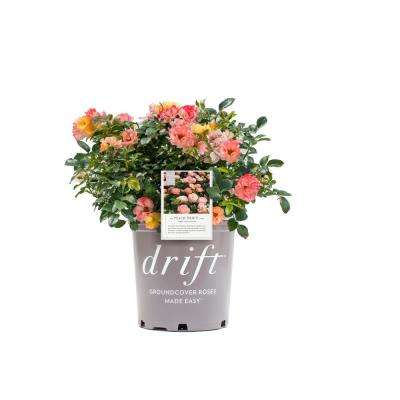 2 Gal. Drift Rose Plant with Peach Flowers