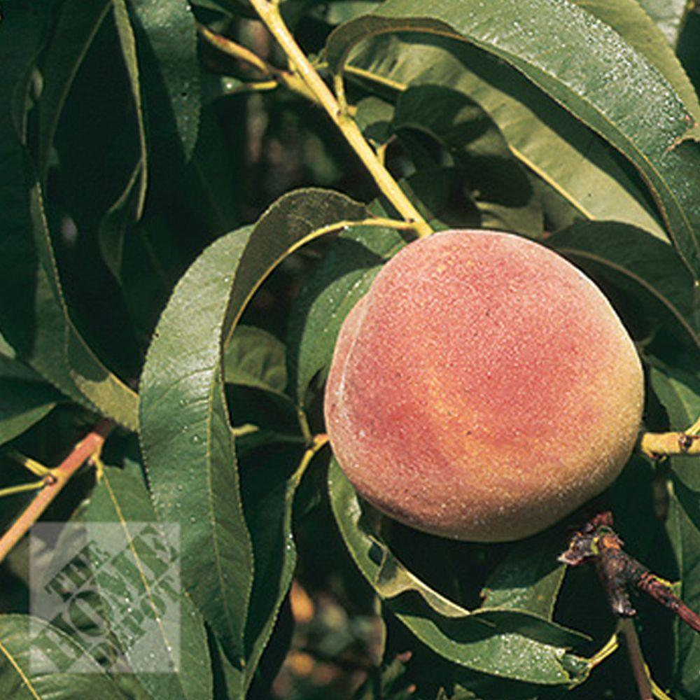 null Loring Peach