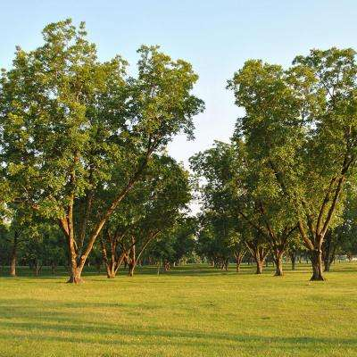 Pecan Tree Collection Root Stocks (Set of 3)