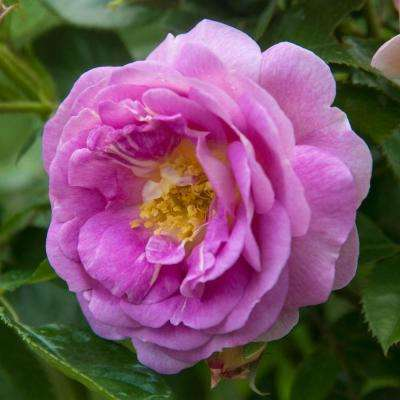 2 in. Pot Arctic Blue Floribunda Rose, Lavender Color Flowers Live Potted Plant (1-Pack)