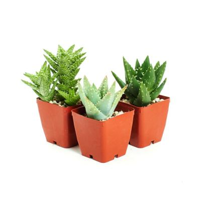 Easy to Grow/Hard to Kill 3 Different Aloe Plants with 3 in. Pots