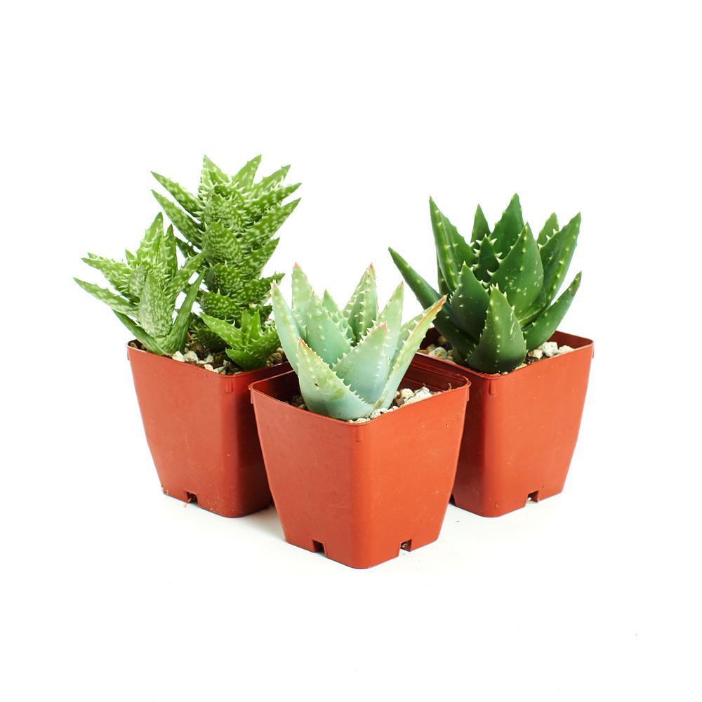 Home Botanicals Easy To Grow Hard To Kill 3 Different Aloe Plants With 3 In Pots 3 Hrd Kil Alo 3 The Home Depot