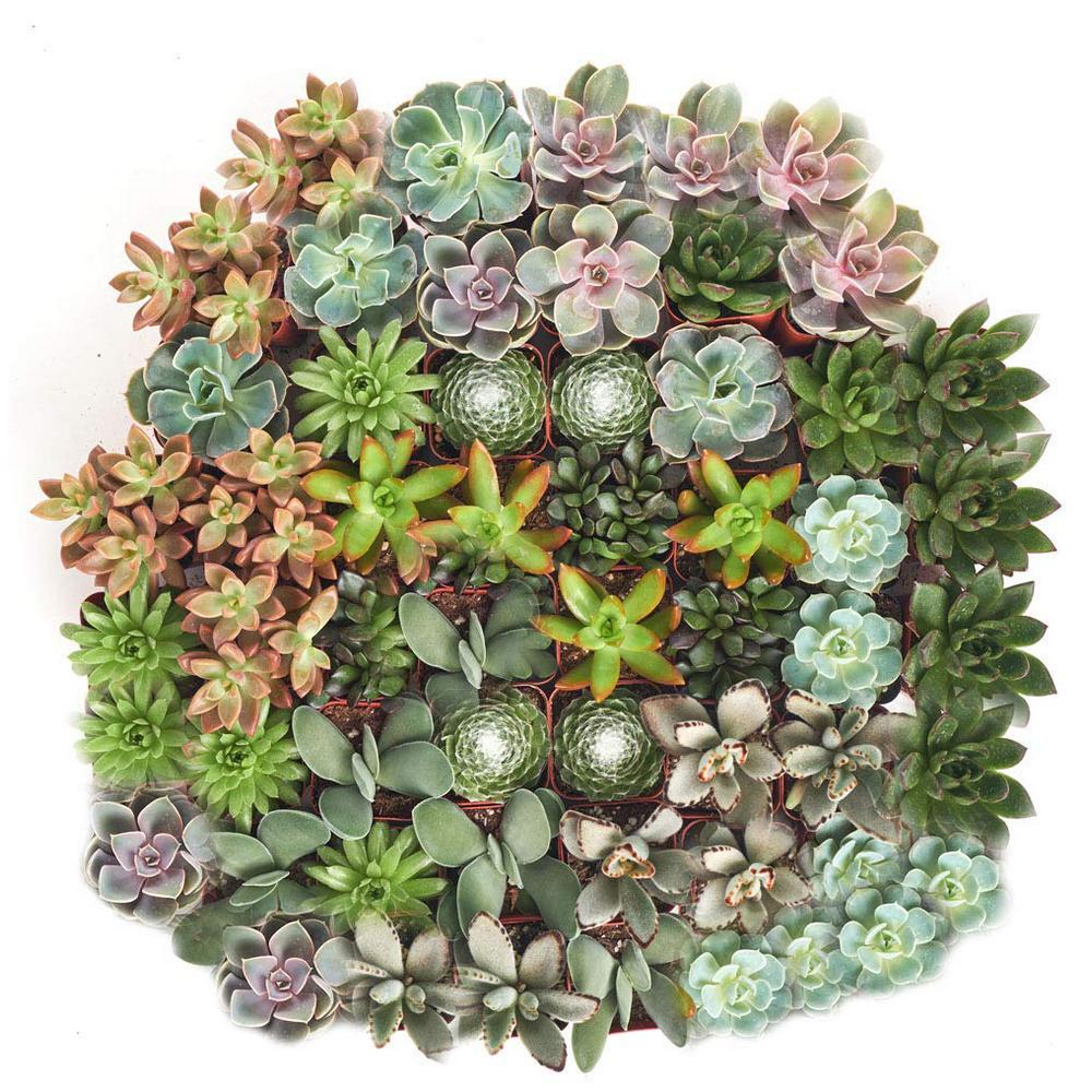 Shop Succulents 2 in. Assorted Succulent (Collection of 32)
