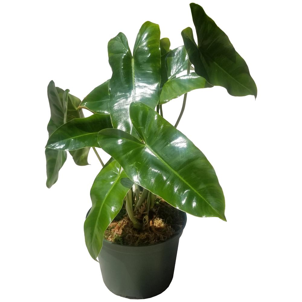 Philodendron Burle Marx Plant in 6 in. Grower Pot-BrlMrx006 - The ...