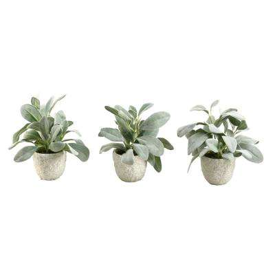 Indoor Frosted Lamb Ear in Ceramic Pot (Set of 3)