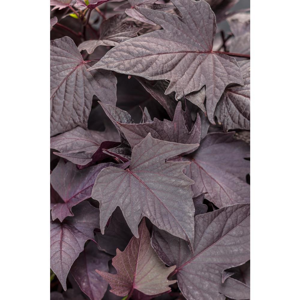 Midnight Lace Sweet Potato Vine