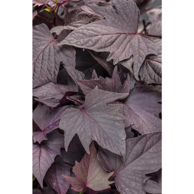 4-Pack, 4.25 in. Grande Sweet Caroline Bewitched After Midnight Sweet PotatoVine(Ipomoea) Live Plant, Purple Foliage