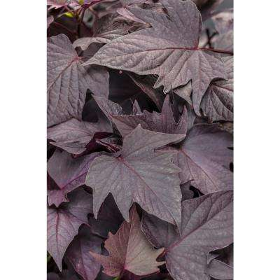 Sweet Caroline Bewitched After Midnight Sweet Potato Vine (Ipomoea) Live Plant, Purple Foliage, 4.25 in. Grande, 4-pack