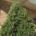 3 Gal. Oakland Holly Tree with Upright Pyramidal Privacy Screen Foliage and Red Winter Berries