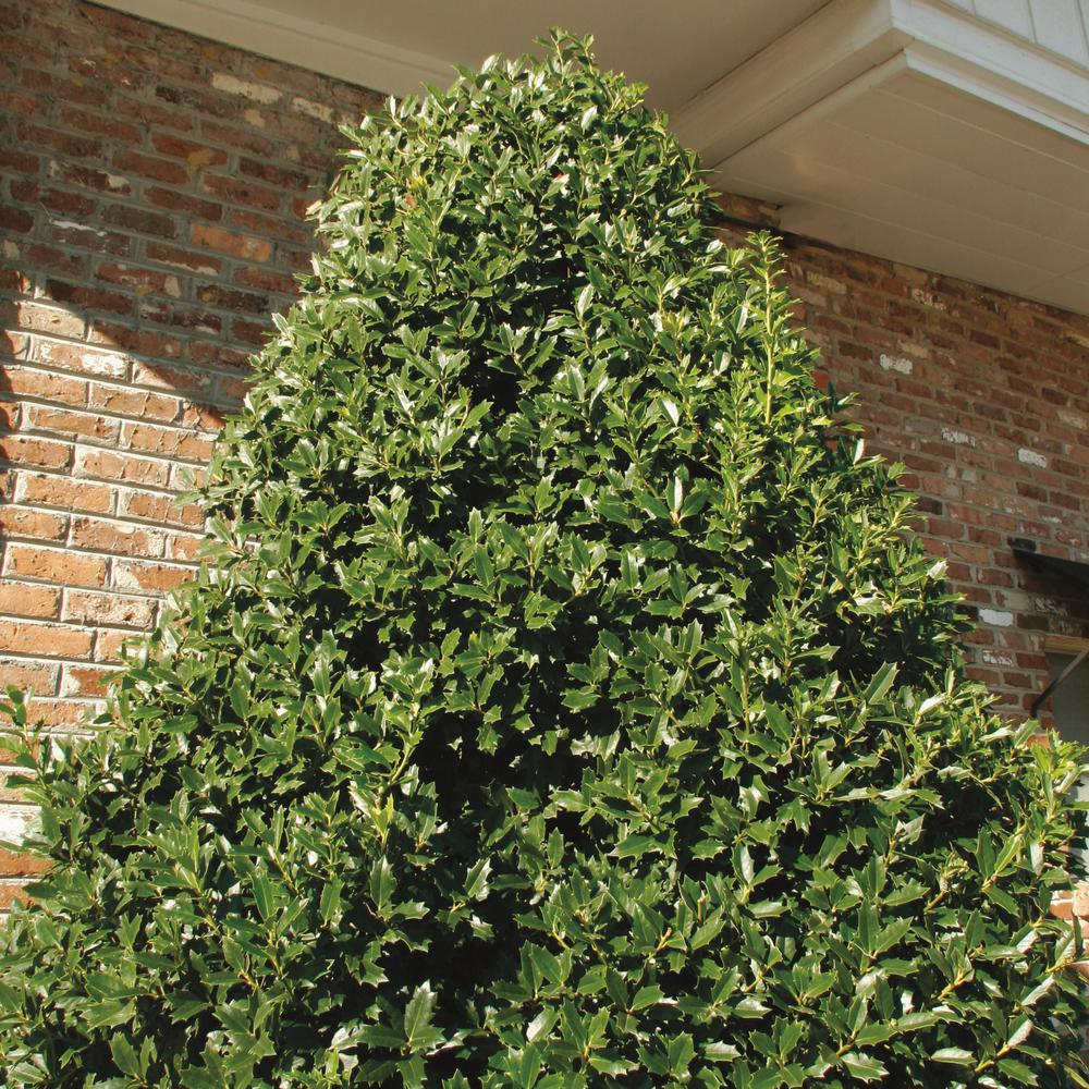 Southern Living Plant Collection 3 Gal Oakland Holly Tree With