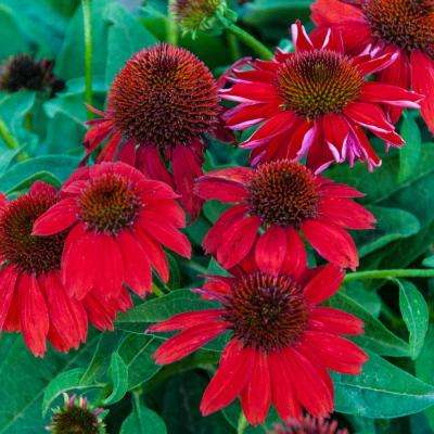3 in. Pot Red Flowers Sombrero Salsa Red Coneflower (Echinacea) Live Potted Perennial Plant (1-Pack)