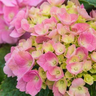4 in. Pot Forever and Ever Early Sensation Hydrangea, Live Deciduous Plant, Blue or Pink Flowers, Green Foliage (1-Pack)