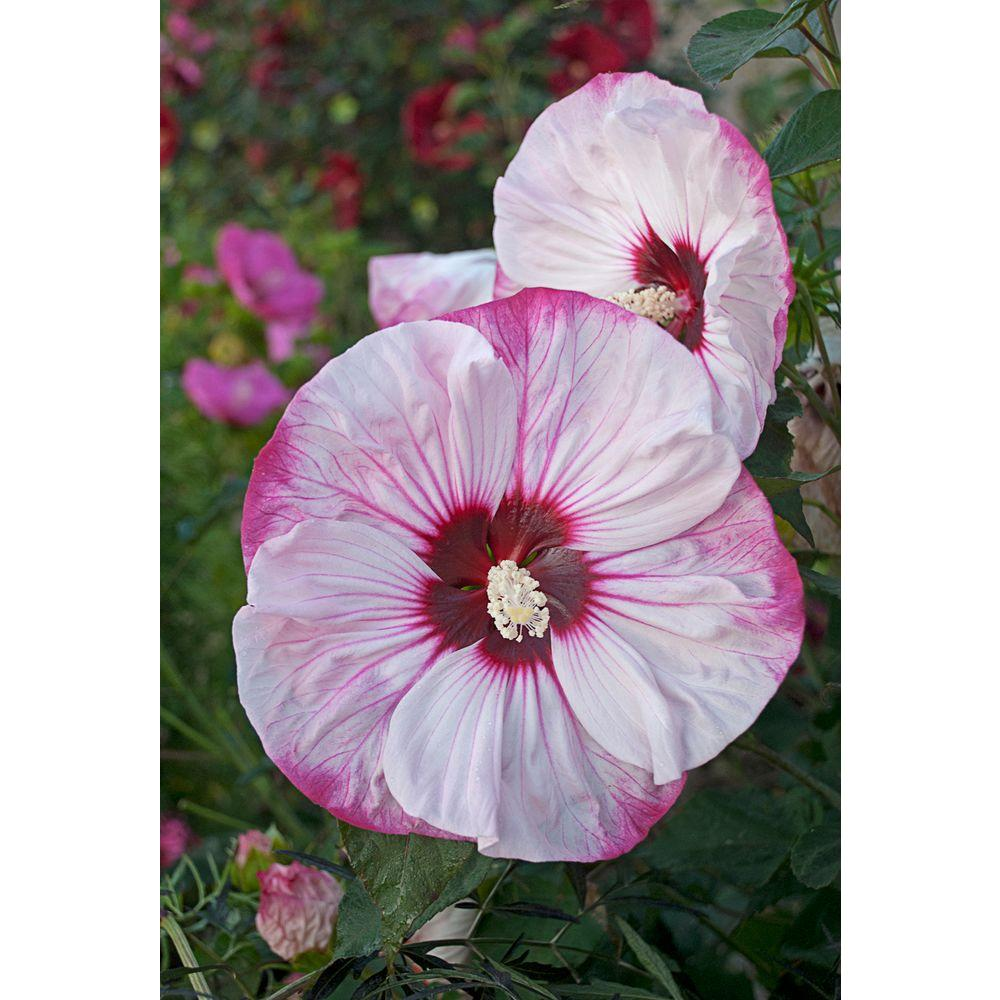 Proven winners summerific cherry cheesecake rose mallow hibiscus proven winners summerific cherry cheesecake rose mallow hibiscus live plant white flowers with izmirmasajfo
