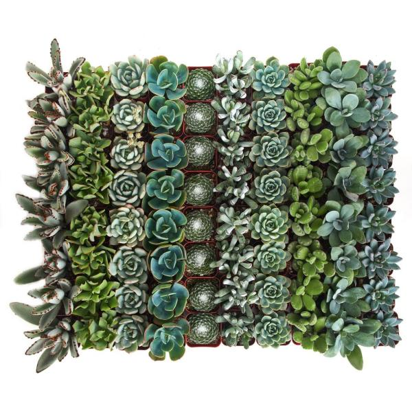 2 in. Blue/Green Collection Succulent (Collection of 32)