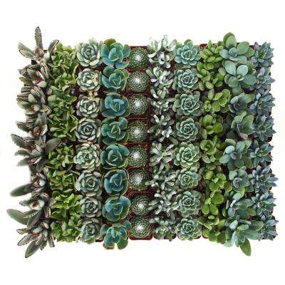2 in. Blue/Green Collection Succulent (Collection of 64)