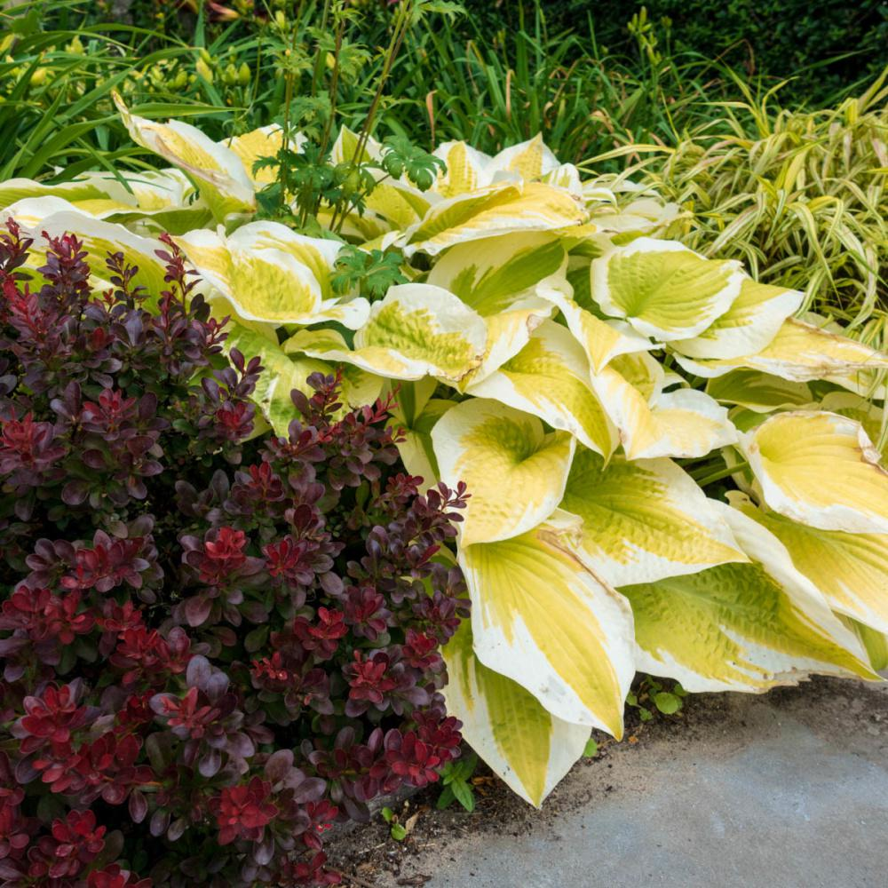 Spring Hill Nurseries Spring Morning Hosta Live Bareroot Perennial