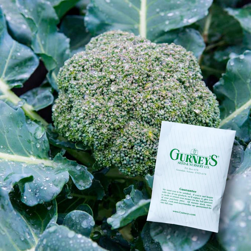 Broccoli Gurney's Blue Ribbon Hybrid (100 Seed Packet)
