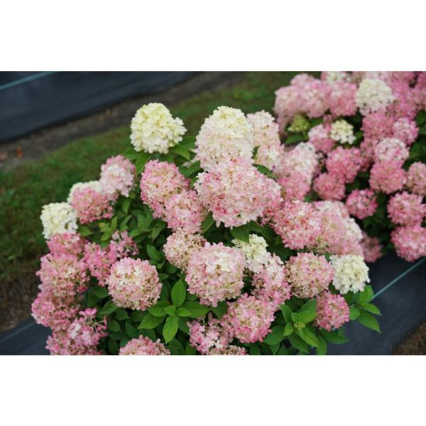 1 Gal. Quick Fire 'Fab' Hydrangea, Live Plant, White and Pink Flowers