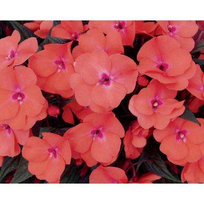 Infinity Salmon (New Guinea Impatiens) Live Plant Coral-Pink Flowers 4.25 in. Grande (4-Pack)