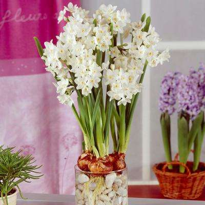 Paperwhite flower bulbs garden plants flowers the home depot large paperwhites set of 12 mightylinksfo Images
