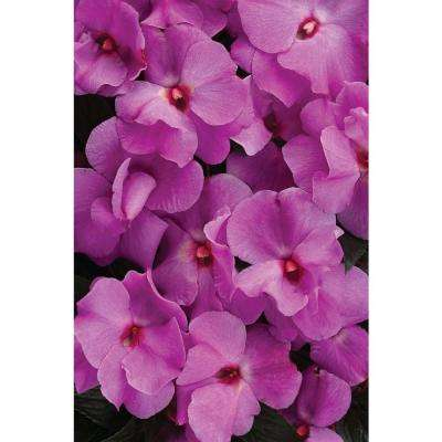 Ruffles Lavender (New Guinea Impatiens) Live Plant, Purple-Pink Flowers, 4.25 in. Grande, 4-pack