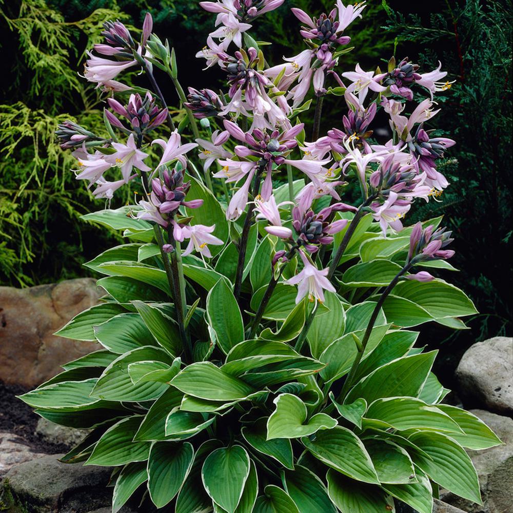 Lavender Hosta Francee Roots (5-Pack)