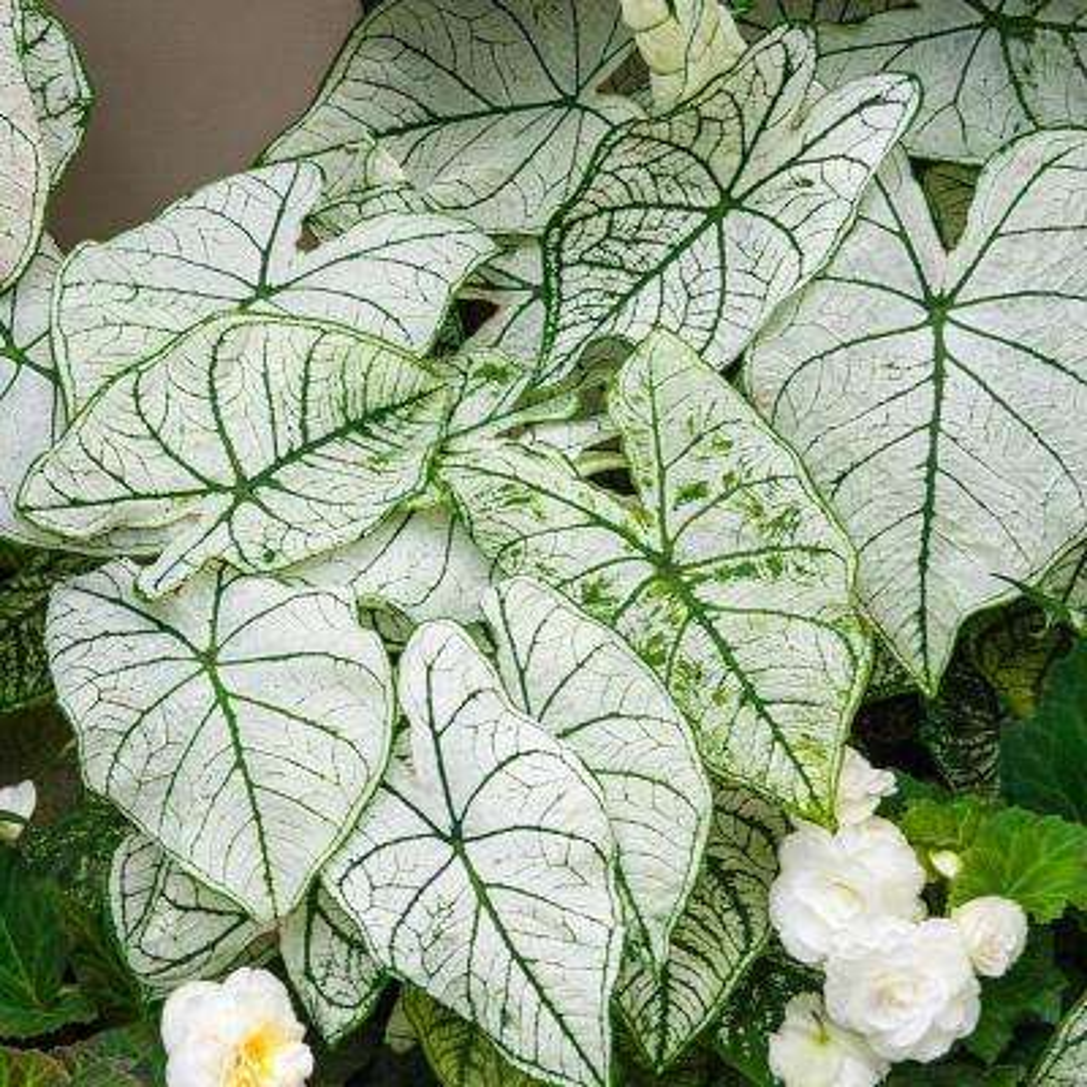 Green and White Foliage White Christmas Caladium Bulbs (5-Pack)