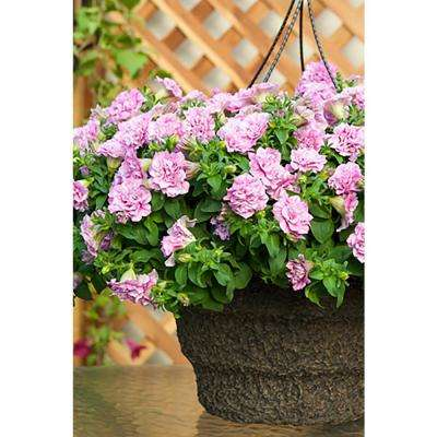 Surfinia Summer Double Rose (Petunia) Live Plant Double Pink Flowers 4.25 in. Grande (4-Pack)